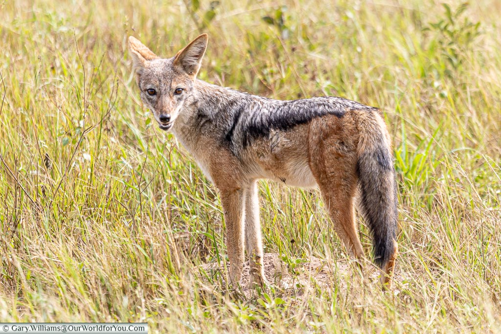 A jackal is looking back over his shoulder, watching us, as he goes about his business.