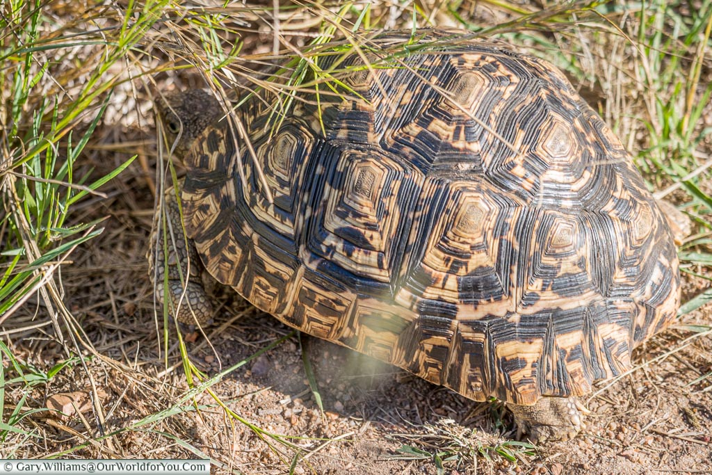 A close-up of a leopard tortoise, with it's spotted shell.