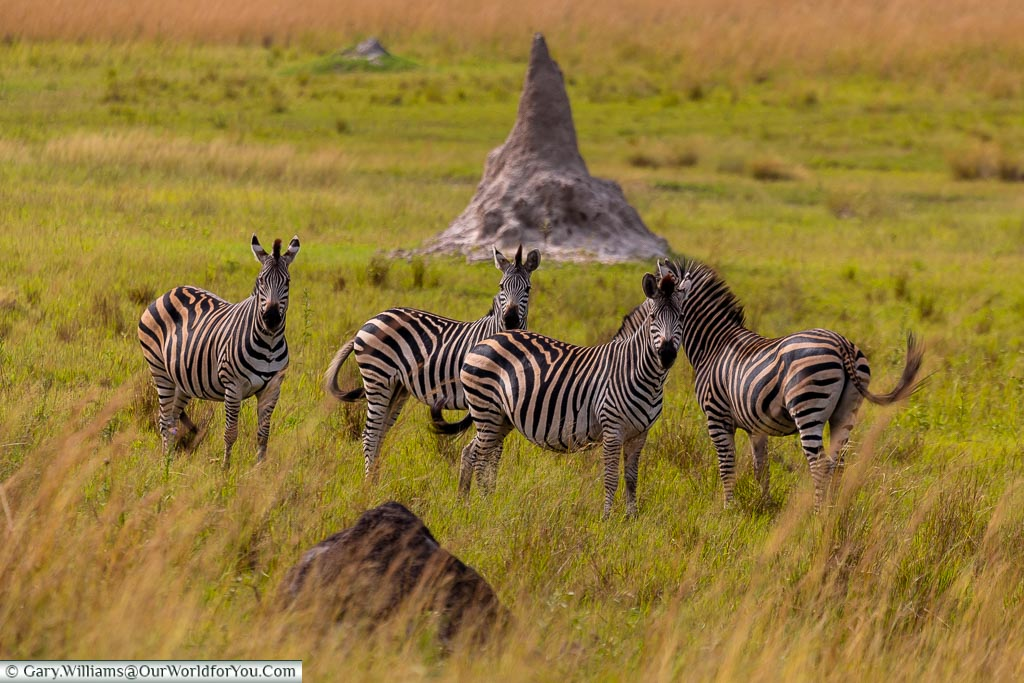 Four Zebras looking at us across the grasslands of the view, in the background is one of the termite hills, standing approximately 2 meters tall, that pepper the base of the valley.