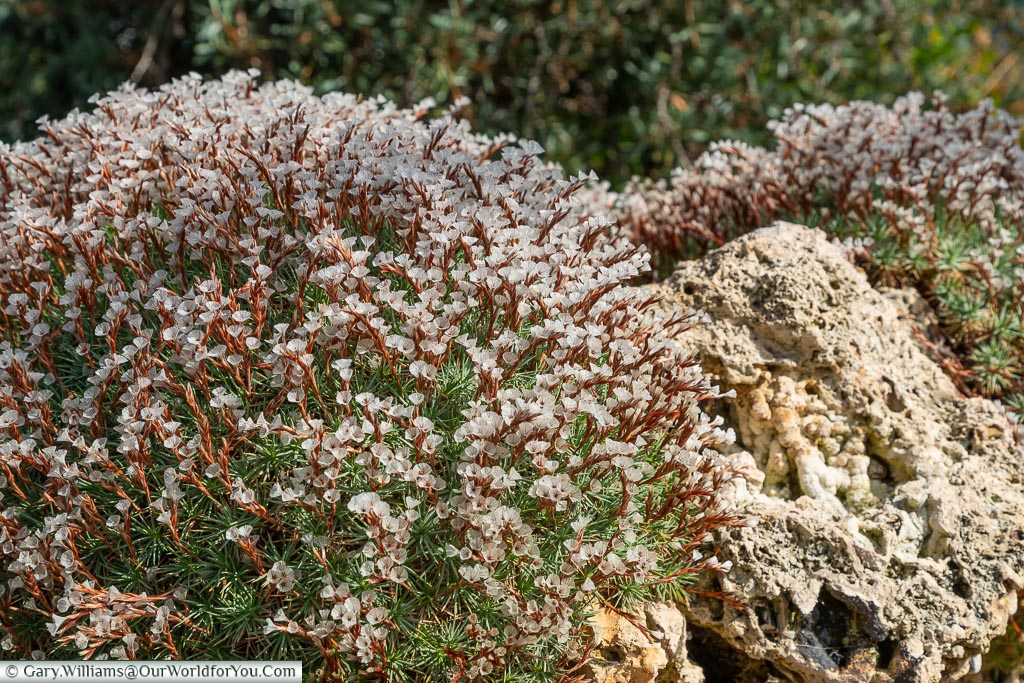 A close-up of white flowers on red stems growing on a rock.