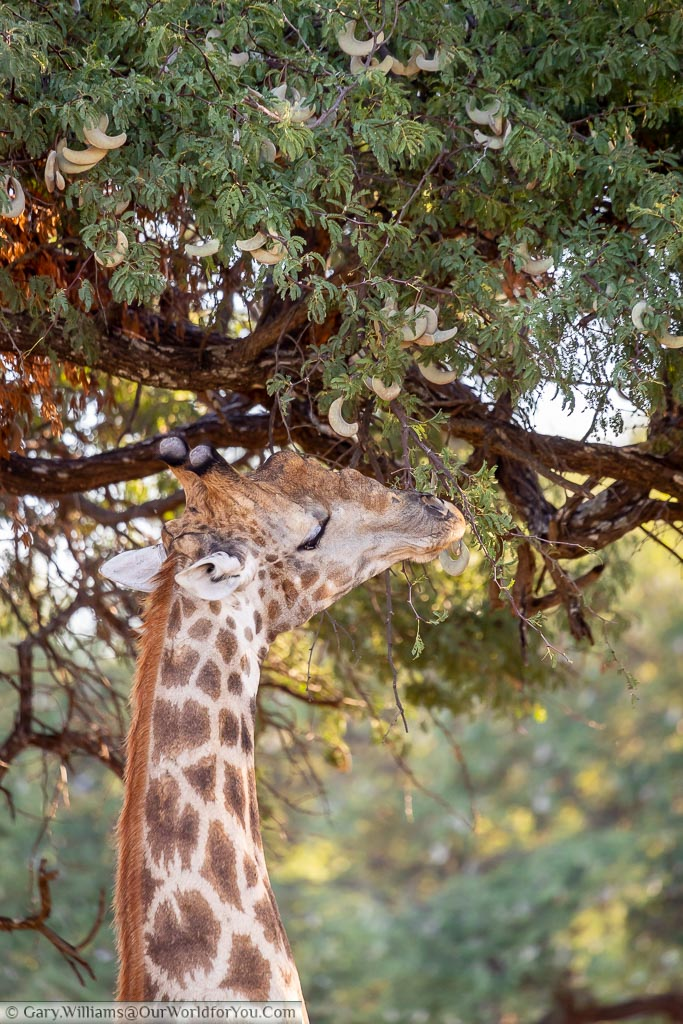 The head of a giraffe as it reaches up for the pale green seed pods of the Acacia tree.