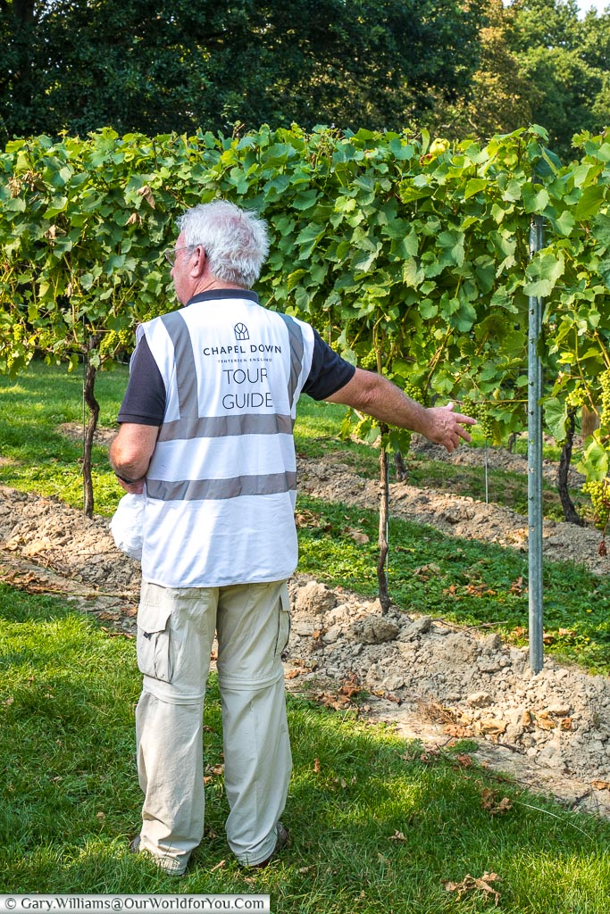 Our guide, Tony, standing in front of the Chardonnay vines, explaining the process of managing the growth.