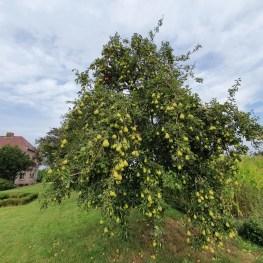 Gorssel Gelderland Perenboom