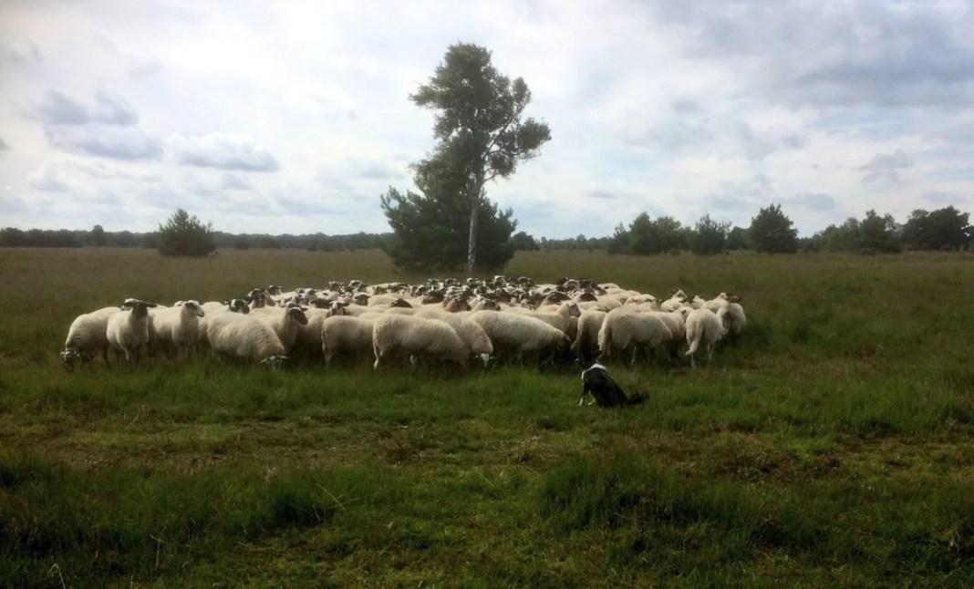 Kudde schapen op De Kampina