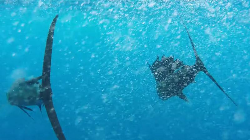 Sailfish 101