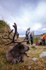 Reindeer Lubis is watching the bustle of the tour from a safe distance, curious to see what the humans are doing with an old reindeer antler