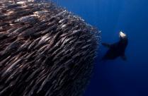 Sea lion by Jorge Cervera Hauser