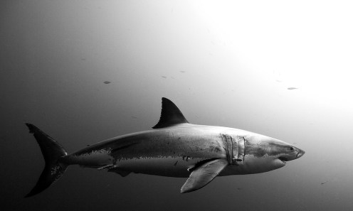 Great white by Jorge Cervera Hauser