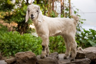 Ever since the Hindu spiritual movement of Radhasaomi Satsang Beas has regained popularity in the Indian Himalayan region, a majority of its population has turned vegetarian. Goats such as this one would have been reared to be slaughtered for its meat. It is now reared for its milk and perhaps wool. Photo Courtesy Swati Chauhan/ The Outdoor Journal