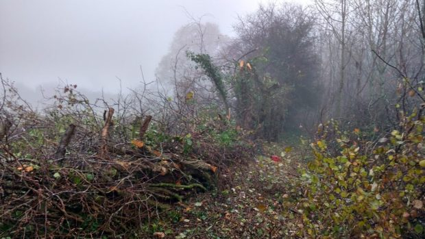 When a hedge is first played, particularly if the trees were quite tall, it can look quite devastating but it will soon regrow.