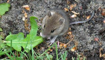 Home Remedies to Get Rid of Mice and Rats | OUTDOOR LIVING