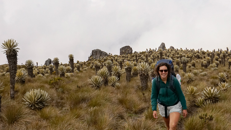Hike Los Nevados without a guide between Frailejones on the Paramo