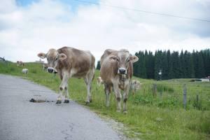 Kühe am Wegesrand in Reit im Winkl
