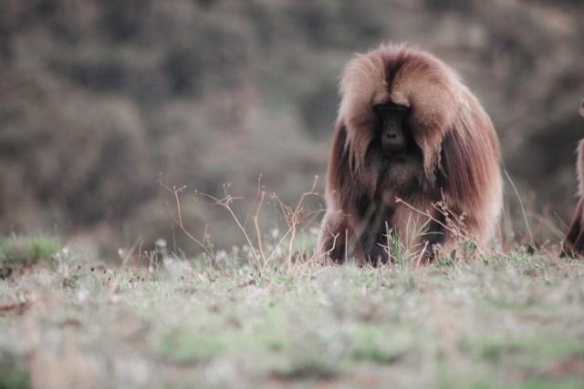 Gelada-Männchen im Simien Nationalpark