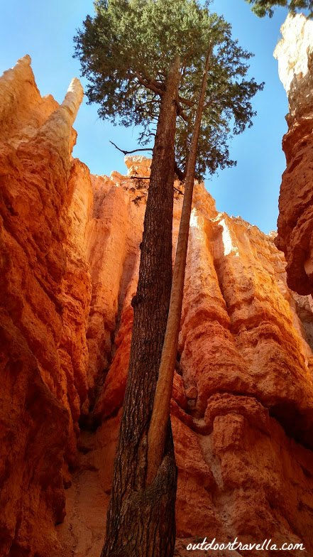 A lone pine tree grows from the inside the many crevices in Bryce Canyon National Park.