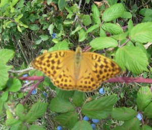 silver washed fritillary orange butterfly