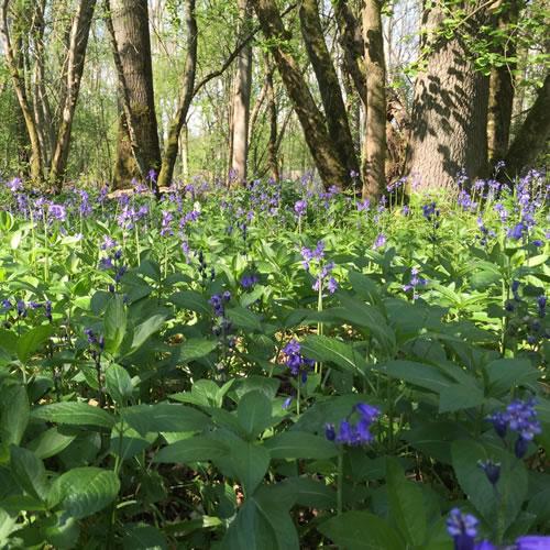 bluebells in woodland