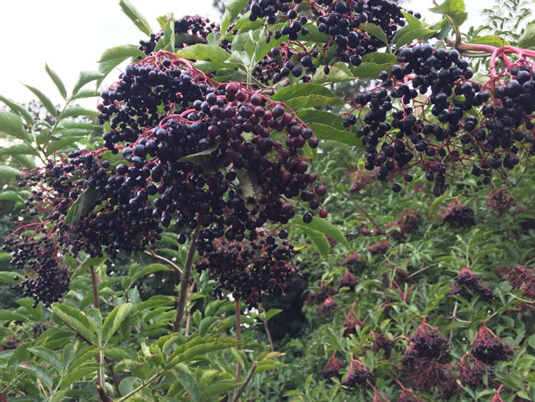 Foraging fun with elderberries