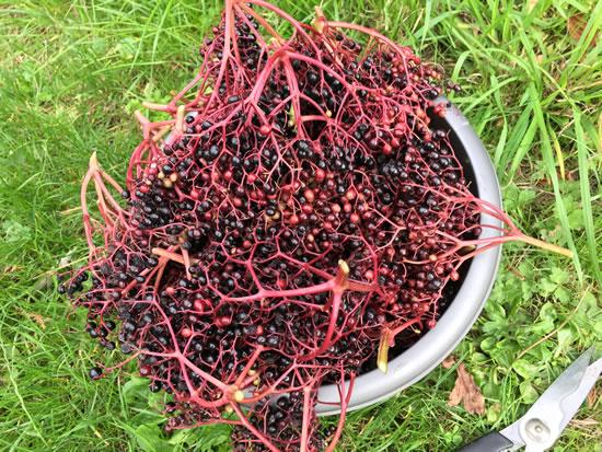 elderberries in bowl