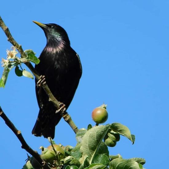 starling on branch