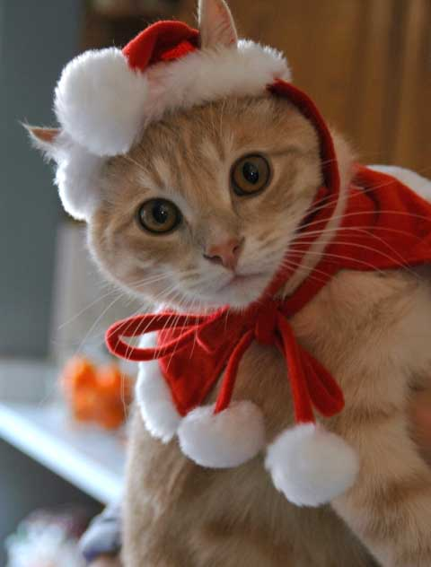 Cats Outfits Holiday