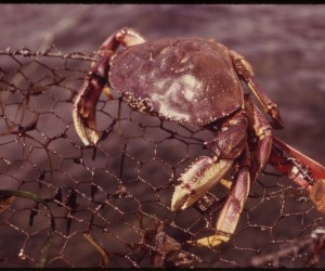 Dungeness crab. Photo from National Archives and Records Administration (via wikimedia commons)
