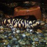 The Eye of the Tiger Salamander