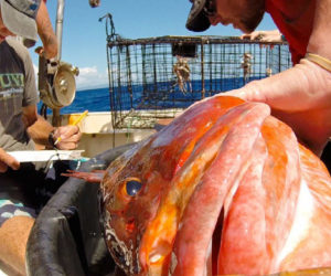 Scientists measure and tag a grouper before returning it to the water. Credit: Teresa L. Carey