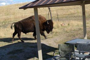 Bison picnic