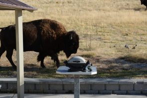 Bison came to picnic