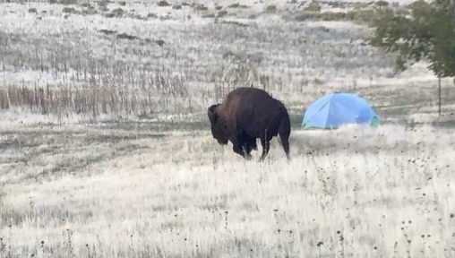 Bison strolls past a tent, glad we have hard walls of the RV!