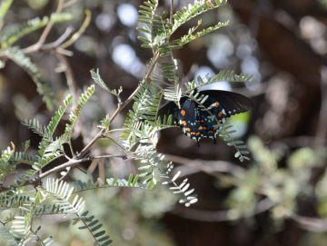 Pipevine Swallowtail Butterfly Fairbank