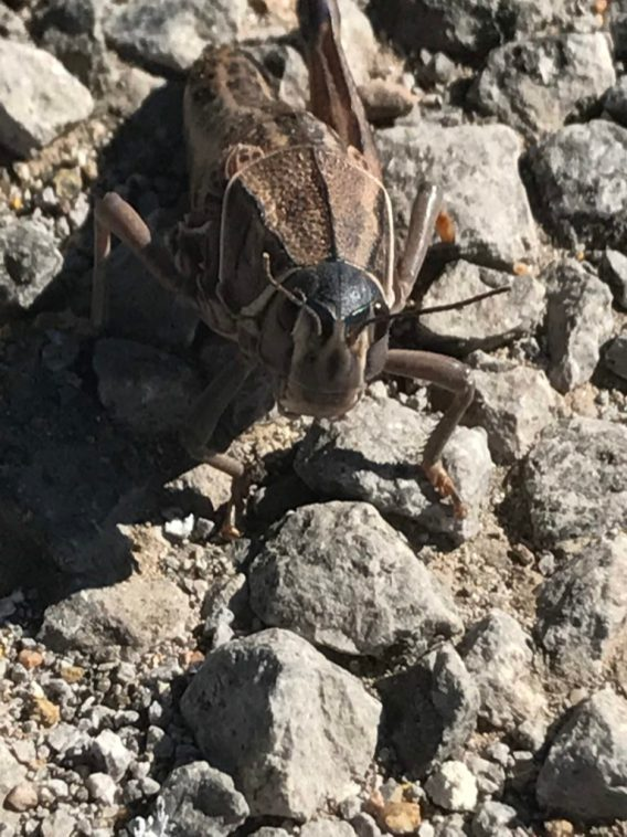 Huge grasshoppers led the way on Thunderegg Trail