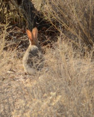 Cotton Tails and Jack Rabbits are plentiful at Mojave Desert campground