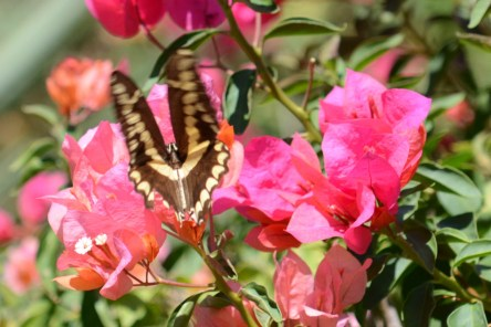 Butterfly at Los Osuna Tequila Distillery Sinaloa Mexico