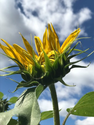 Sunflower wanting to open at Styring Vineyards