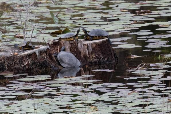 Turtles conversing