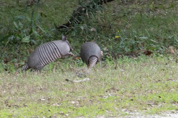Armadillos were chasing each other and jumping around on the grounds at Plum Orchard estate