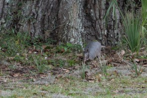 Armadillo at the base of a tree at Plum Orchard estate
