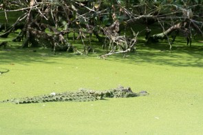 My first alligator sighting in the pond at Plum Orchard