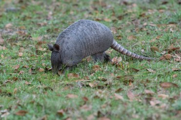 Armadillo at Dungeness ruins stands still long enough for a photo