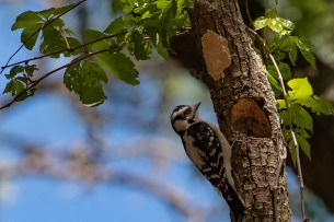 Woodpecker sits next to the hole he carved