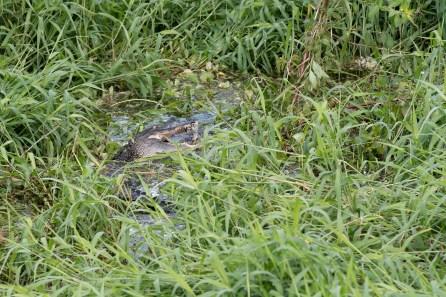 Alligator snacking