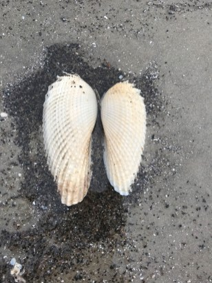 Shells put together look like angel wings