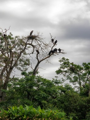 Heron nesting next to black vulture crew at Medard Park