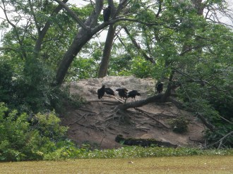 Vultures moved lower in the tree to protect their nest from the aligator on the shore!