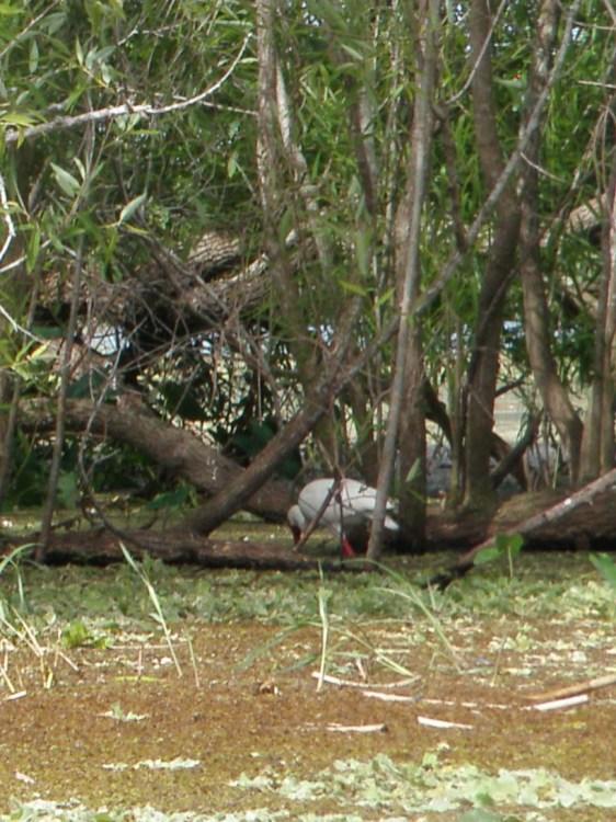 White Ibis feeding at Medard Park