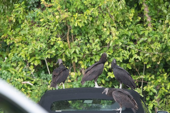Vultures loved to tear into the convertible top