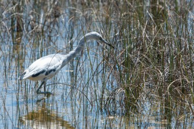 Little Blue Heron - 1st Spring hunts