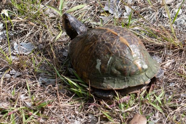 Tortoise crossed the road in Key Deer Wildlife Refuge - Why?